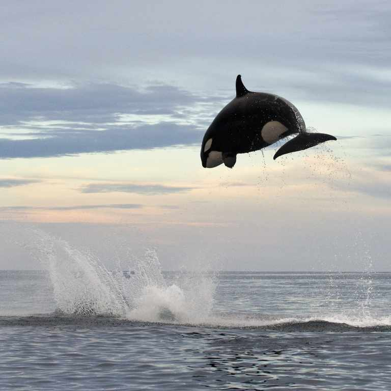 Airborne killer whales