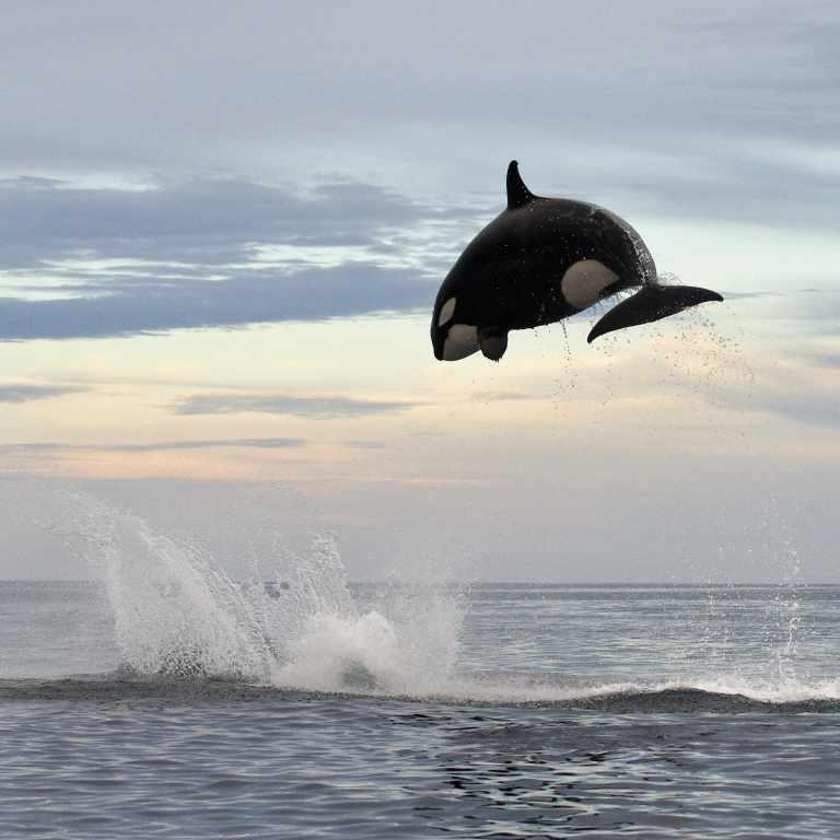 Airborne killer whales