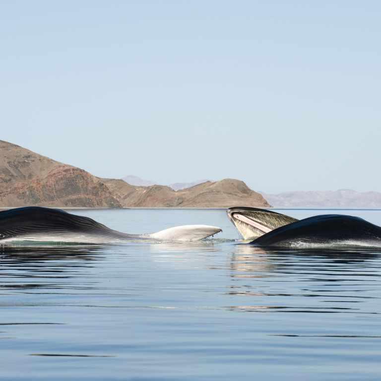 Feeding fin whales