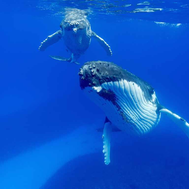 Mum and baby humpback