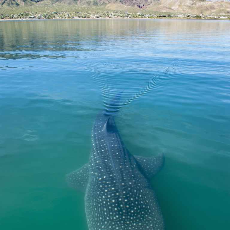 Whale shark and land