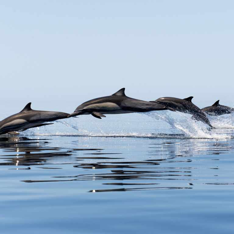 An arc of dolphins