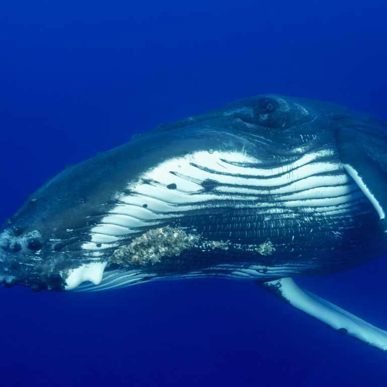 Close up humpback