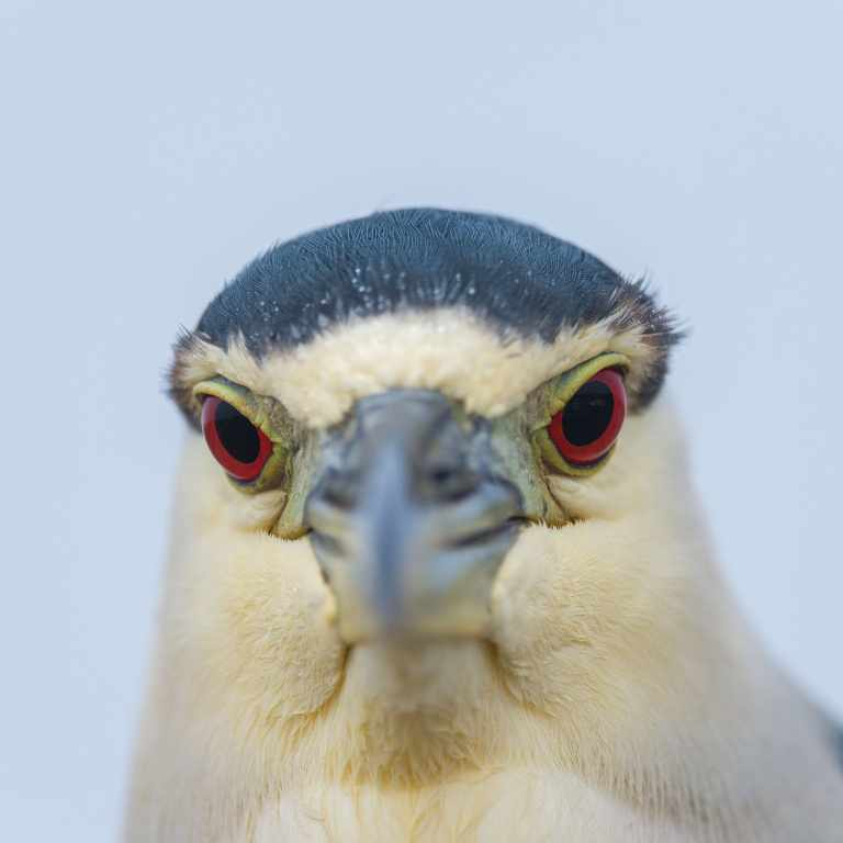 Black crowned night heron (Nycticorax nycticorax) Baja California Mexico.