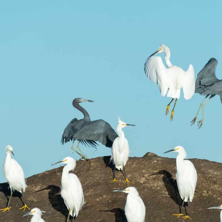 Snowy egret (Egretta thula) Baja California Mexico.