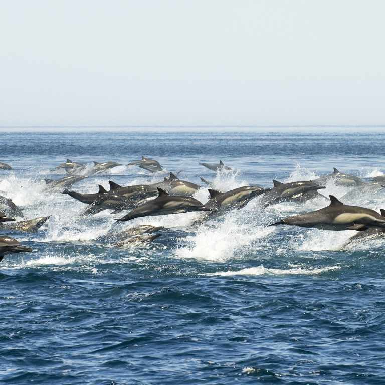 Dolphins in a hurry